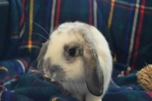 """Young Male Rabbit - Dwarf-Lop Eared: """"Alfred"""""""