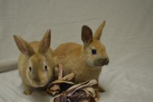 "Baby Male Rabbit - Dwarf-Bunny Rabbit: ""Wheeler and Squealer"""