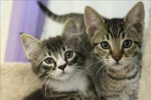"Baby Male Cat - Domestic Short Hair: ""Arthur"""