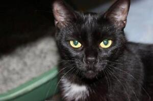 "Young Female Cat - Domestic Short Hair: ""Lilo 16 (EAH)"""