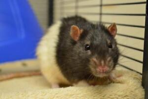 """Senior Male Small & Furry - Rat: """"Alan - In foster care"""""""
