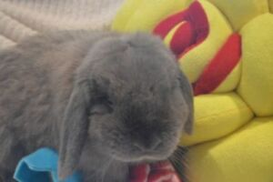 "Adult Male Rabbit - Lop Eared: ""Bart"""