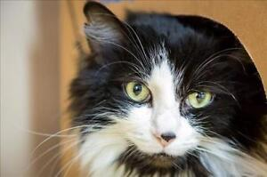 "Adult Female Cat - Domestic Long Hair: ""Tinkerbell"""