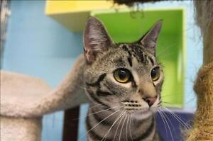 """Young Male Cat - Domestic Short Hair: """"Moon"""""""
