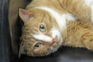 "Adult Male Cat - Domestic Short Hair-Tabby: ""Bacon"""