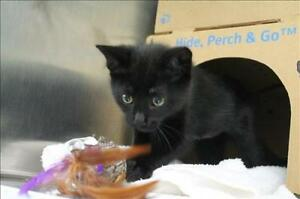 "Baby Female Cat - Domestic Short Hair: ""Shay"""