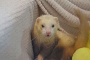 "Adult Male Small & Furry - Ferret: ""Blondie"""