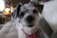 "Adult Female Dog - Shih Tzu: ""Jessie"""