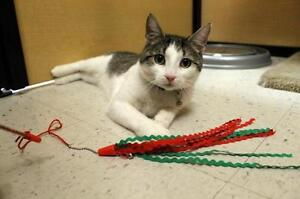 """Adult Male Cat - Domestic Short Hair-Tabby: """"Chirp"""""""