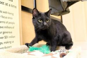 "Adult Female Cat - Domestic Short Hair: ""Pendragon"""