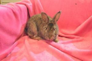 "Adult Male Rabbit - Chinchilla: ""Bigwig"""