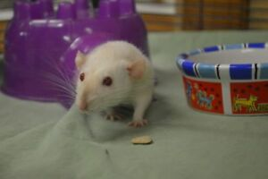 """Young Female Small & Furry - Rat: """"Sage"""""""