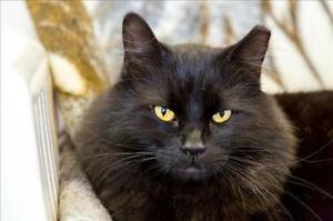 """Adult Male Cat - Domestic Long Hair: """"Midnight"""""""