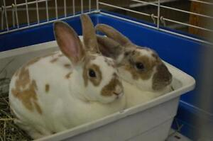 """Young Female Rabbit - Rex: """"Raisin and Rose"""""""