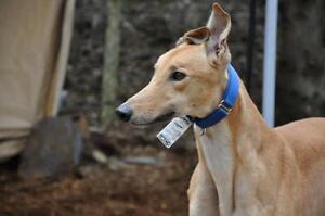 """Young Male Dog - Greyhound: """"PG American"""""""