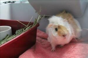 """Young Male Small & Furry - Guinea Pig: """"Hammy"""""""