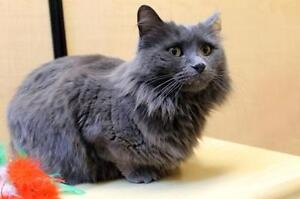 "Adult Female Cat - Domestic Medium Hair-gray: ""Velda"""