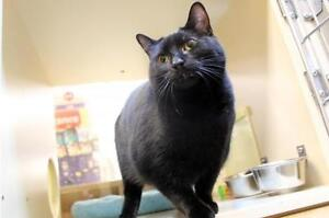 """Young Female Cat - Domestic Short Hair-black: """"Trista"""""""