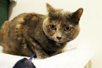 "Adult Female Cat - Dilute Tortoiseshell: ""Natasha"""