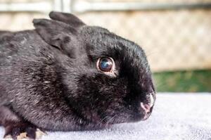"""Adult Male Rabbit - American: """"Winken"""""""