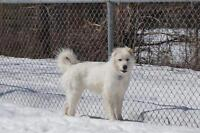 """Adult Female Dog - Great Pyrenees: """"Ruby"""""""