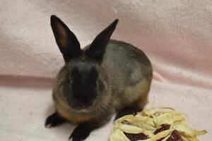 "Adult Male Rabbit - Bunny Rabbit: ""Cocopuff"""