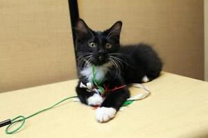 "Baby Male Cat - Manx-Domestic Short Hair: ""Painter"""