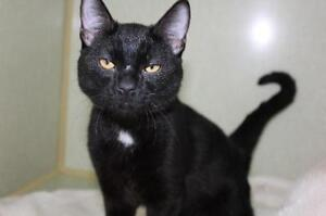 """Young Male Cat - Domestic Short Hair-black and white: """"Sir Fred"""""""