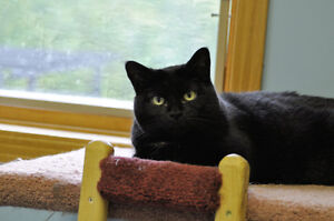 "Adult Female Cat - Domestic Short Hair: ""Mamma Sissy"""