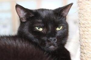 """Adult Female Cat - Domestic Short Hair: """"Erie 12 (PN unknown)"""""""