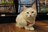 "Young Female Cat - Domestic Short Hair-Tabby: ""Elyna"""