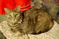 "Adult Female Cat - Domestic Short Hair: ""Erica"""