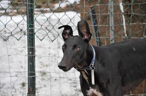 "Adult Male Dog - Greyhound: ""PK's Wonderland"""