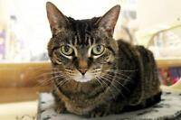 "Adult Female Cat - Tabby - Brown: ""Tigger"""
