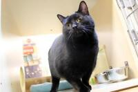 "Young Female Cat - Domestic Short Hair-black: ""Trista"""