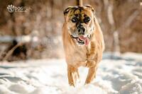 "Adult Female Dog - Boxer: ""Molly"""