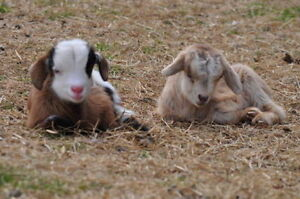 LOOKING FOR TWO MYOTONIC/FAINTING GOATS DOELINGS REGISTERED