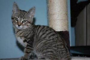"Baby Female Cat - Domestic Short Hair - brown: ""Molly"""