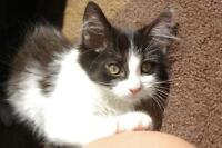 "Young Female Cat - Domestic Medium Hair-black and white: ""Lily"""