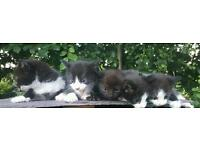 5 gorgeous kittens for sale