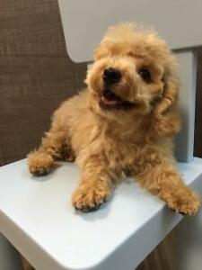 Wanted: Looking for a Toy Poodle / Cross puppy for my family