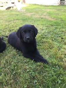 LABRENESE PUPPIES