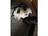 Lhasa Apso Cross Toy Poodle Boy Puppies
