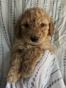 Labradoodle-Poodle Puppies 1 Girl Left !!