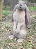 WANTED: English lop