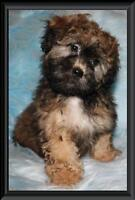 Teddy Bear Zuchon Puppies(Shichon Shih-Tzu Bichon)Rare Chocolate