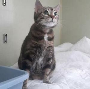 "Adult Female Cat - Domestic Short Hair: ""Betty"""