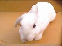 Small white buck rabbit