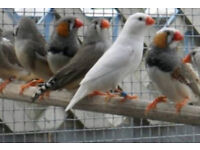 Zebra Finch & Cages £15