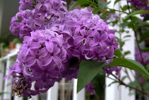 Lilac Shrub Ebay